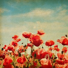 WAL0024 Poppies Wall Mural by Brewster